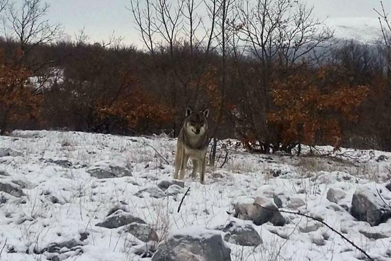 vuk roško polje